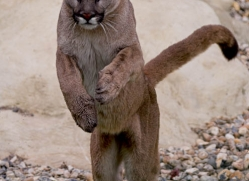 puma-mountain-lion-whf-2369-copyright-photographers-on-safari-com