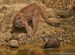 puma-mountain-lion-whf-2370-copyright-photographers-on-safari-com
