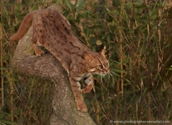 rusty-spotted-cat-whf-2452-copyright-photographers-on-safari-com