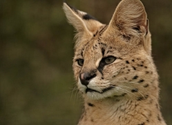 serval-whf-2397-copyright-photographers-on-safari-com