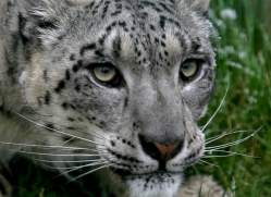 snow-leopard-whf-2348-copyright-photographers-on-safari-com