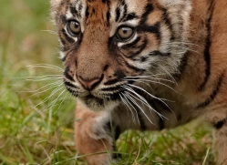 sumatran-tiger-cub-whf-2455-copyright-photographers-on-safari-com