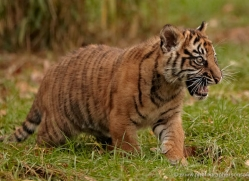 sumatran-tiger-cub-whf-2457-copyright-photographers-on-safari-com
