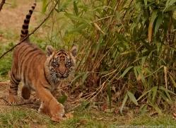 sumatran-tiger-cub-whf-2462-copyright-photographers-on-safari-com