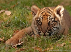 sumatran-tiger-whf-2469-copyright-photographers-on-safari-com