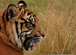 sumatran-tiger-whf-2471-copyright-photographers-on-safari-com