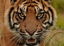 sumatran-tiger-whf-2472-copyright-photographers-on-safari-com