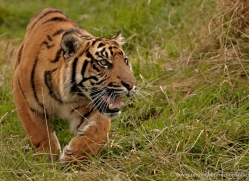 sumatran-tiger-whf-2474-copyright-photographers-on-safari-com