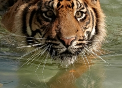 sumatran-tiger-whf-2476-copyright-photographers-on-safari-com