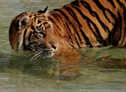 sumatran-tiger-whf-2477-copyright-photographers-on-safari-com