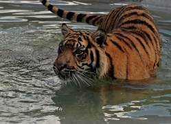 sumatran-tiger-whf-2479-copyright-photographers-on-safari-com