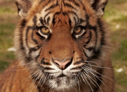 sumatran-tiger-whf-2481-copyright-photographers-on-safari-com