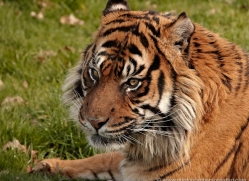 sumatran-tiger-whf-2482-copyright-photographers-on-safari-com