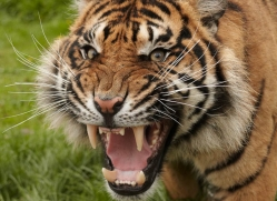 sumatran-tiger-whf-2484-copyright-photographers-on-safari-com