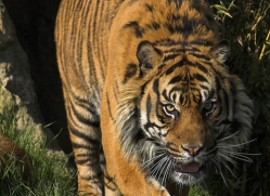 sumatran-tiger-whf-2487-copyright-photographers-on-safari-com