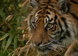 sumatran-tiger-whf-2489-copyright-photographers-on-safari-com
