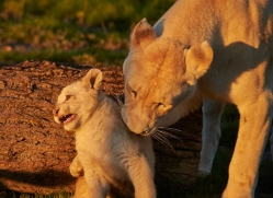 white-lions-whf-2405-copyright-photographers-on-safari-com