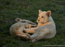 white-lions-whf-2406-copyright-photographers-on-safari-com