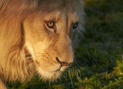 white-lions-whf-2407-copyright-photographers-on-safari-com