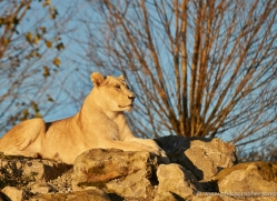 white-lions-whf-2408-copyright-photographers-on-safari-com