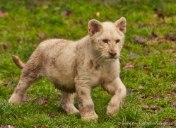 white-lions-whf-2409-copyright-photographers-on-safari-com