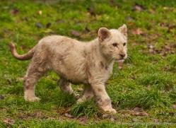 white-lions-whf-2410-copyright-photographers-on-safari-com