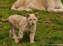 white-lions-whf-2411-copyright-photographers-on-safari-com
