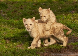 white-lions-whf-2414-copyright-photographers-on-safari-com