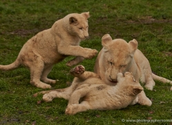 white-lions-whf-2417-copyright-photographers-on-safari-com