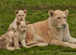 white-lions-whf-2419-copyright-photographers-on-safari-com