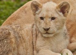 white-lions-whf-2420-copyright-photographers-on-safari-com