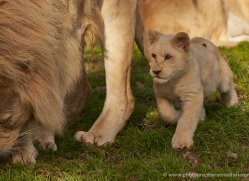 white-lions-whf-2424-copyright-photographers-on-safari-com