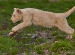 white-lions-whf-2427-copyright-photographers-on-safari-com