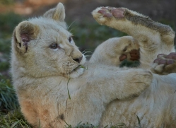 white-lions-whf-2429-copyright-photographers-on-safari-com