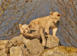 white-lions-whf-2430-copyright-photographers-on-safari-com