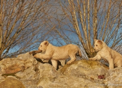 white-lions-whf-2432-copyright-photographers-on-safari-com