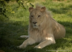 white-lions-whf-2439-copyright-photographers-on-safari-com