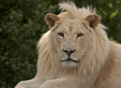 white-lions-whf-2440-copyright-photographers-on-safari-com
