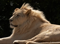 white-lions-whf-2441-copyright-photographers-on-safari-com