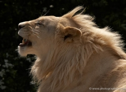 white-lions-whf-2442-copyright-photographers-on-safari-com