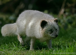 arctic-fox-230-kent-wildwood-copyright-photographers-on-safari-com