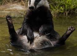 badger-198-kent-wildwood-copyright-photographers-on-safari-com