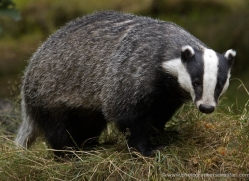 badger-199-kent-wildwood-copyright-photographers-on-safari-com