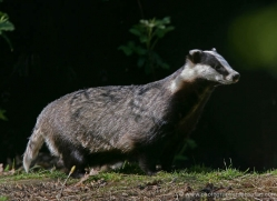 badger-202-kent-wildwood-copyright-photographers-on-safari-com