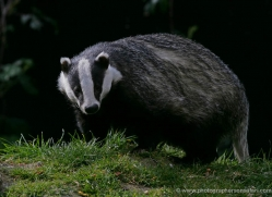 badger-203-kent-wildwood-copyright-photographers-on-safari-com
