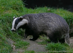 badger-204-kent-wildwood-copyright-photographers-on-safari-com