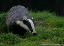 badger-205-kent-wildwood-copyright-photographers-on-safari-com