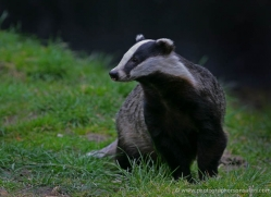 badger-206-kent-wildwood-copyright-photographers-on-safari-com