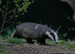 badger-208-kent-wildwood-copyright-photographers-on-safari-com