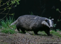 badger-209-kent-wildwood-copyright-photographers-on-safari-com
